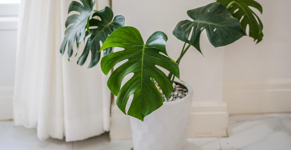 6 plantes : Philodendron
