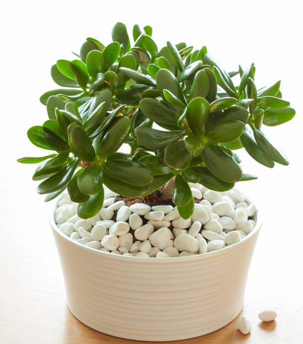 6 plantes : L'arbre de jade