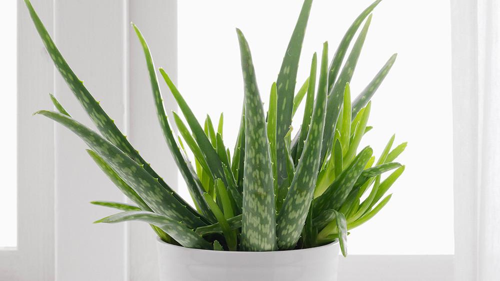 6 plantes : ALOE VERA